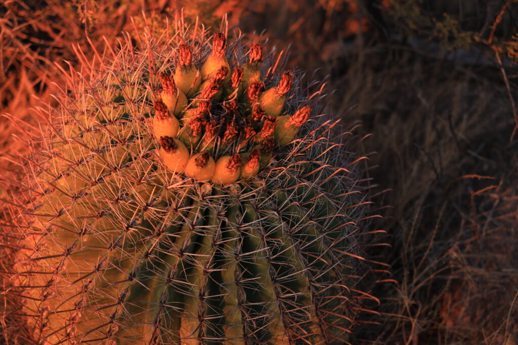 Barrel Cactus at Sunset
