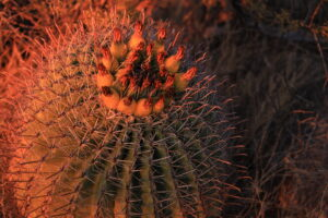 Barrel Cactus at Sunset